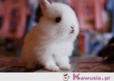 Chcę króliczka <3