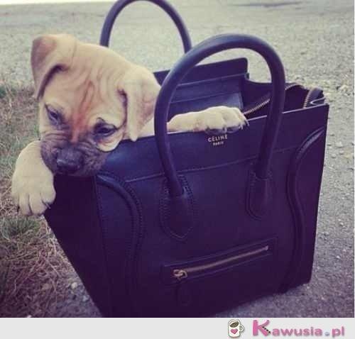 Fashion puppy